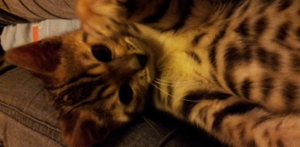 Benji the Bengal Cat arrives in Oswestry